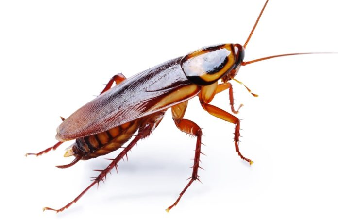 cockroach se chutkara pane ke upay