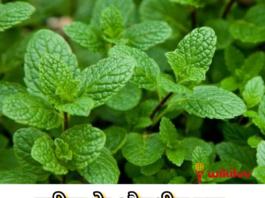 पुदीना, mint, pudina पुदीना का परिचय, Introduction of Pudina, पुदीना क्या है? , What is Mint in Hindi?, पुदीना का आयुर्वेद में क्या उपयोग हैं, pudina benefits in hindi, पुदीने में औषधीय गुण, पुदीना का उपयोग, पुदीने का उपयोग, पुदीना का फायदा, पुदीने के फायदे, Benefits of Pudina, Benefits of Pudina in Hindi, Pudina Benefits and Uses in Hindi, The medicinal properties of mint, Use of peppermint, The use of mint, the benefit of mint,What are the uses of mint in Ayurveda, बालों को झड़ने से कैसे रोके, बालों का झड़ना, झड़ते हुए बालों को कैसे रोके, बालों को टूटने से कैसे रोके, टूटते बालों को कैसे रोके, टूटते बालों को रोकने के उपाय, झड़ते बालों को रोकने के उपाय, गंजेपन को को कैसे रोके, बालो को झड़ने से रोकने में उपयोगी हैं पुदीना, Pudina Beneficial in Hair Loss in Hindi, पुदीना को इस्तेमाल करने का तरीका, पुदीने को इस्तेमाल करने का तरीका, झड़ते बालों को रोकने का घरेलू उपाय, घरेलू नुस्खे से रोके बालों का झड़ना, घरेलू उपाय से कैसे रोके बालों का झड़ना, बालों का झड़ना, बालों का टूटना, झड़ते बाल, टूटते बाल, hair loss, hair fall, बालों को झड़ने से रोकने के घरेलू उपाय, झड़ते बालों को रोकने का तरीका,How to stop hair fall, jhadte huye balon ko kaise roke, jhadte balon ko rokne ke upay, hair loss kaise roke, hair fall ko kam kaise kare, How to stop hair loss, hair loss, how to stop hair falling, how to stop hair breakage, how to stop breakage hair, how to stop hair falling, ways to stop hair loss, how to stop baldness ,Home remedies to stop hair loss, home remedies prevent hair loss, home remedies how to prevent hair loss, hair breakage, stop hair loss Home remedies, how to stop hair fall, कान के दर्द को दूर करे पुदीना, कान में दर्द, कान दर्द, कान दर्द कैसे दूर करें,कान दर्द का घरेलू इलाज, ear pain, earache, kaan ke dard ko door kaise kare, kaan dard ka gharelu ilaaj, kaan ke dard ko kam karne ka upay, Uses of Pudina to Treat Ear Pain inHindi, कान दर्द को दूर करने का इलाज, कान में फुंसी हो जाने पर क्या करें, कान दर्द का इलाज, कान के दर्द को दूर करने का उपाय, Remedy for relieving earach